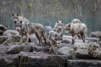 Juliste Susia - Grey Wolf