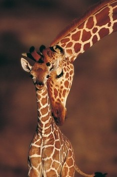 Juliste Tenderness- giraffes