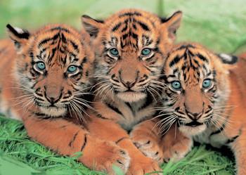 Juliste Tiger cubs