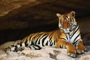 Juliste Tiger's cave