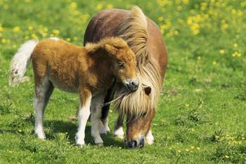 Juliste Two ponies