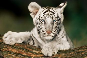 Juliste White tiger - cub
