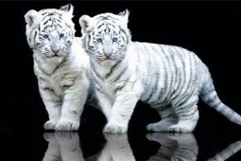 Juliste White tiger cubs