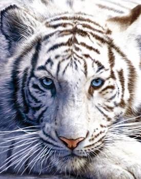 Juliste White tiger