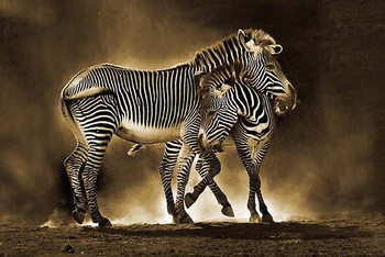 Juliste Zebra - Mother and Foal