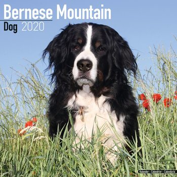 Kalenteri 2020  Bernese Mountain Dog