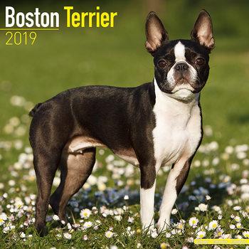 Kalenteri 2019  Boston Terrier