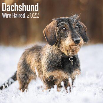 Kalenteri 2022 Wirehaired Dachshund