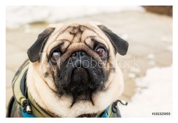 Dog breed pug. Portrait of a pet Kehystetty laminoitu juliste