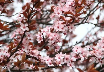 Beautiful Blossoms Valokuvatapetti