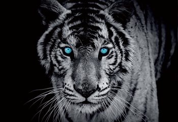 Black And White Tiger Blue Eyes Valokuvatapetti