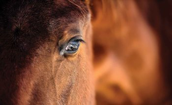 Kuvatapetti, TapettijulisteHorse Pony