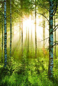 Metsä - Sunmbeams Kuvatapetti, Tapettijuliste