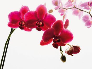 Orkidea - Blossoms Kuvatapetti, Tapettijuliste