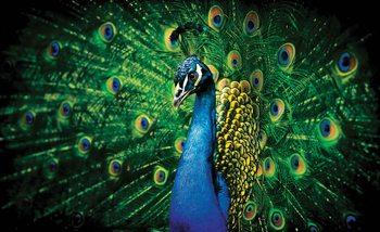 Peacock Bird Feathers Valokuvatapetti