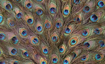 Peacock Feathers Valokuvatapetti
