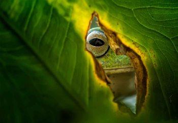 Peeking Frog Valokuvatapetti