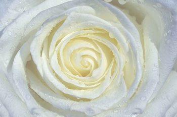 Rose Flower White Valokuvatapetti