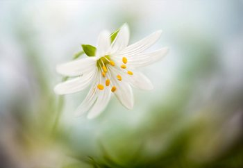 Spring Stitchwort Valokuvatapetti