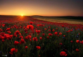 Sunrise Between Poppies Valokuvatapetti