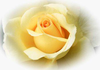 Yellow Rose Valokuvatapetti
