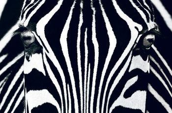 Zebra - Black & White Kuvatapetti, Tapettijuliste