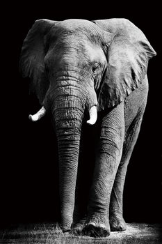 Lasitaulu Elephant - Standing b&w
