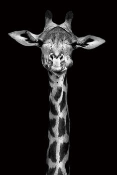 Lasitaulu Giraffe - Head b&w