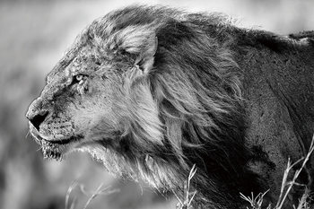 Lasitaulu Lion - Black and White Lion