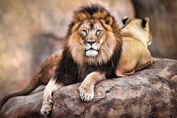 Framed Poster Lion - King of the Pride