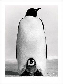 Manchot - Baby Penguin Reproduction d'art