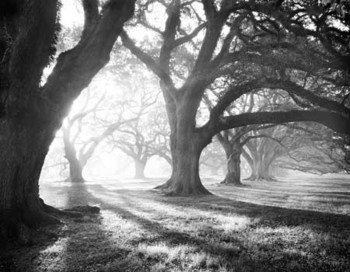OAK ALLEY, LIGHT AND SHADOWS Reproduction d'art