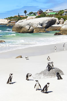 Art Print on Demand African Penguins at Boulders Beach
