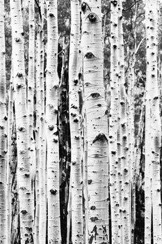 Art Print on Demand Birch trunks