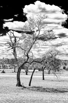 Umělecká fotografie  Dead Tree in the African Savannah