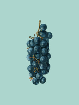 Illustration grapes