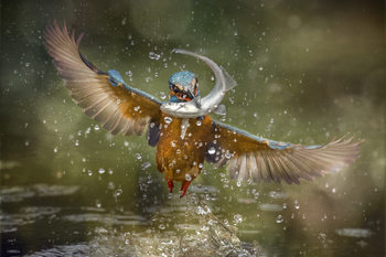 Art Print on Demand Kingfisher