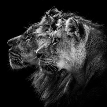 Art Print on Demand Lion and Lioness Portrait