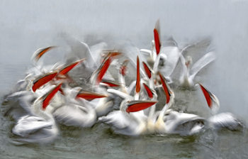 Art Print on Demand Pelicans in motion blur