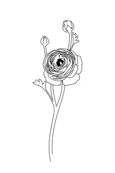 Illustration Ranunculus line art