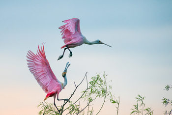 Art Print on Demand Rosy pair (Roseate Spoonbills)