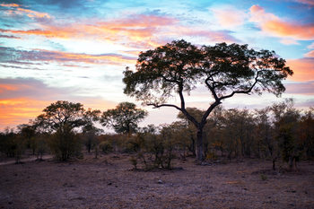 Art Print on Demand Savanna Trees at Sunrise