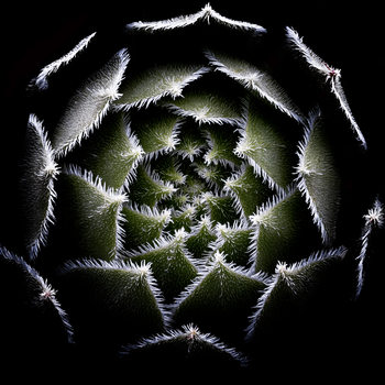 Art Print on Demand Sempervivum Rosette