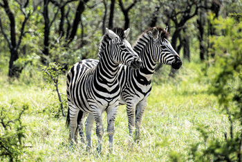 Art Print on Demand Two Burchell's Zebra