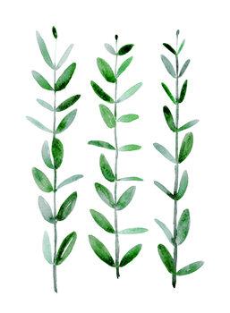 Illustration Watercolor eucalyptus parvifolia