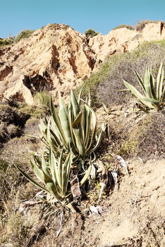Art Print on Demand Wild Agaves