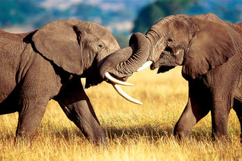 African elephand sparring Poster