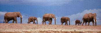 African elephant herd - kenya Poster
