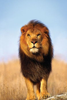 Poster African lion