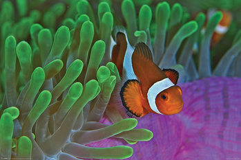 Poster Clownfish & Anemones